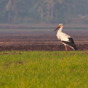 White Stork amidst the green paddy fields