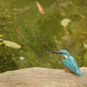 The Common Kingfisher with a well earned meal
