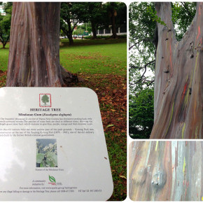 The Mindanao Gum Tree in Katong Park, Singapore